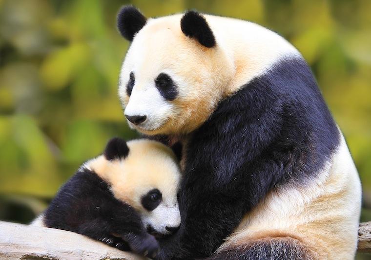 panda0