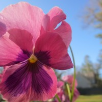 15 pansy pink1