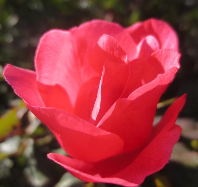 15 dec rose01