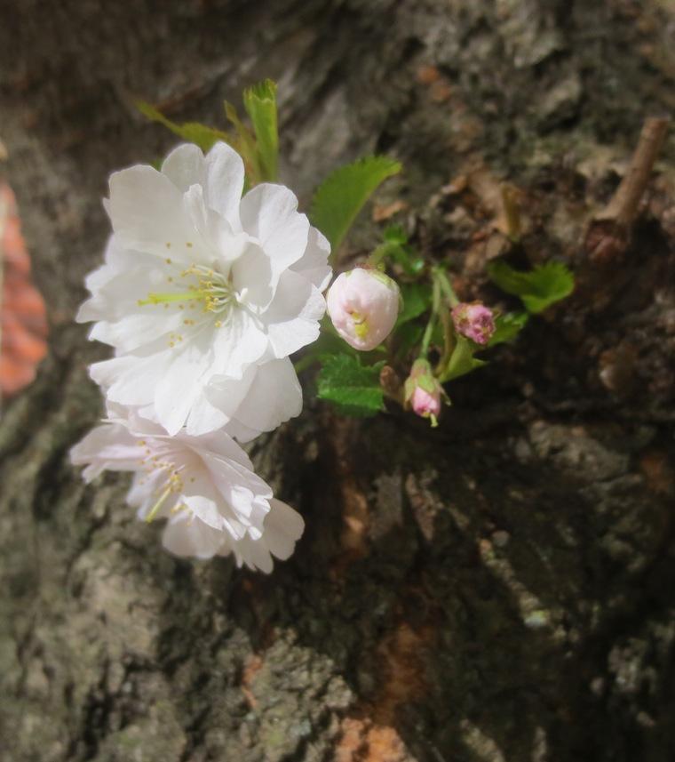 16barkflower