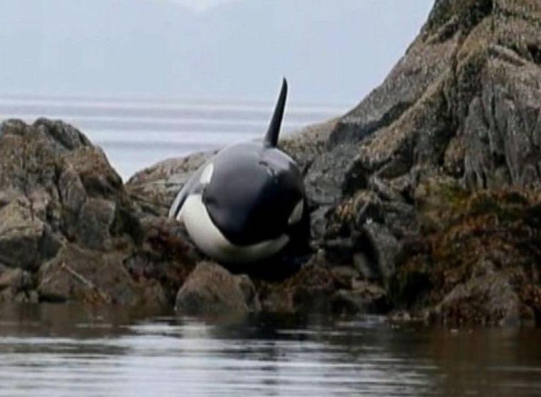 orcawh