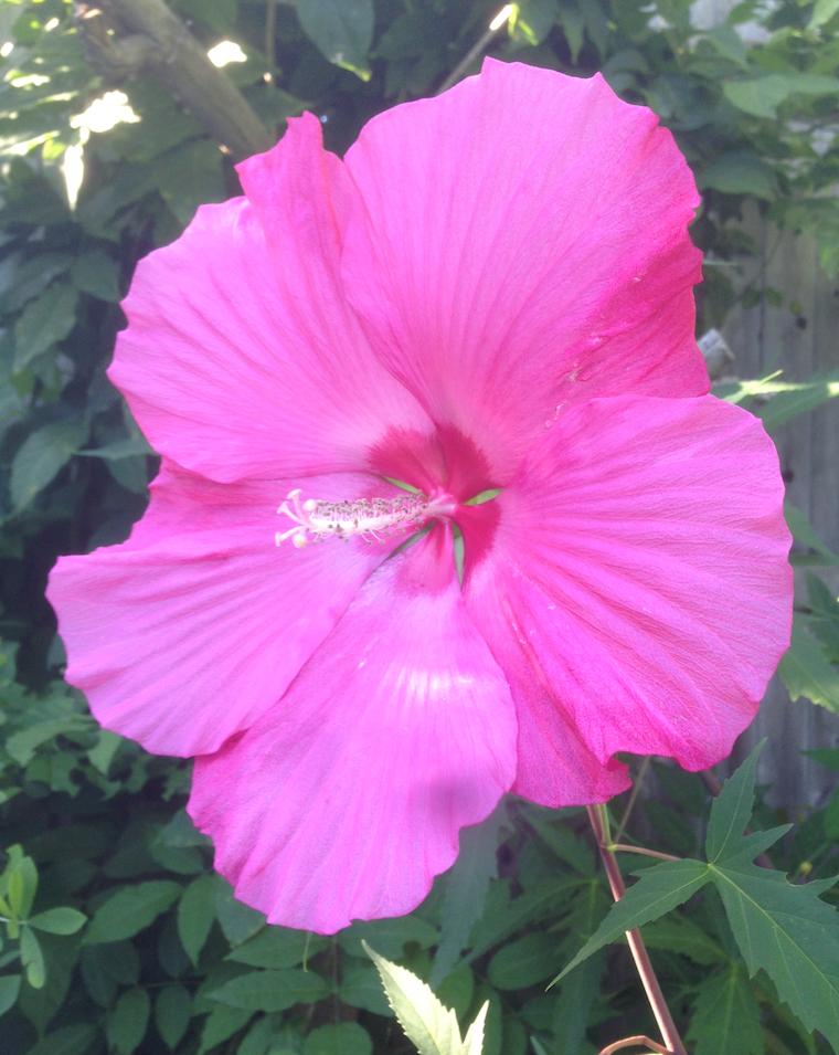 hibisc1