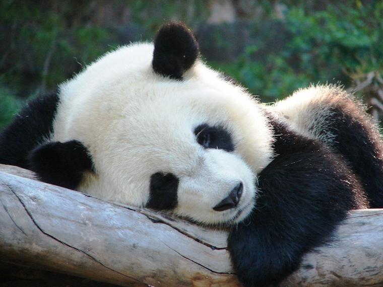 sleeping-panda1