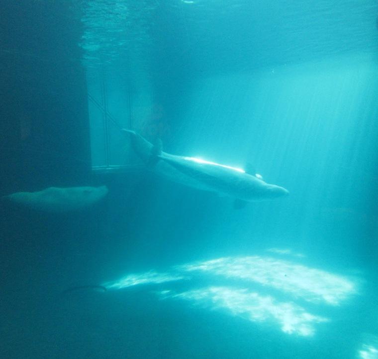 Beneath The Blue Water Of The Belugas Alan Ilagan